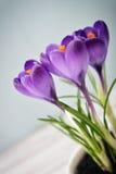 Crocus dans le vase Image stock