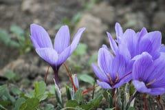Crocus de floraison dans la campagne Image stock