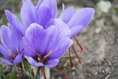 Crocus de floraison dans le domaine Photo stock