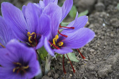 Crocus de floraison dans le domaine Photos stock
