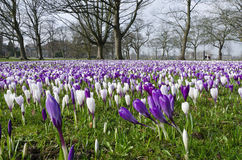 Crocus de Harrogate Photographie stock