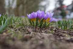 Crocus de pourpre de ressort Photo stock