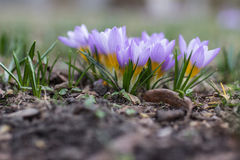 Crocus de pourpre de ressort Photos stock