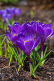 Crocus de printemps Image stock