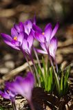 Crocus de ressort Photos stock