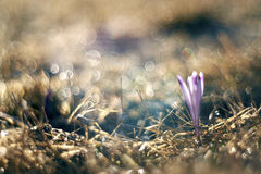 Crocus discolor flowers. Crocus discolor, beautiful flowers, gardens and grassland and nice bubble bokeh Stock Images