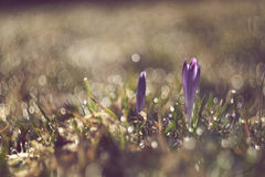 Crocus discolor flowers. Crocus discolor, beautiful flowers, gardens and grassland and nice bubble bokeh. Old lens Helios 44M Royalty Free Stock Images