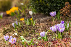 Crocus dutch in group Stock Photos