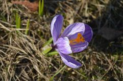 Crocus. Early spring wild flower of crocus macro Stock Image