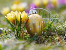 Crocus with easter eggs on meadow Royalty Free Stock Images