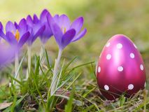 Crocus with easter eggs on meadow Royalty Free Stock Photo
