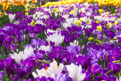 Crocus en Hollande Photos stock