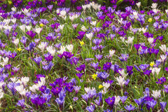 Crocus en Hollande Photos libres de droits