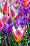 Crocus en Hollande Images stock