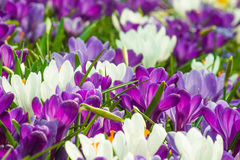Crocus en Hollande Photographie stock