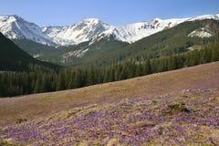 Crocus en vallée de Chocholowska, montagnes de Tatra, Pologne Photographie stock