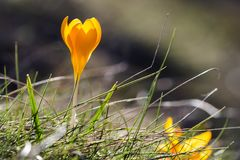 Crocus English plural: crocuses or croci. Is a genus of flowering plants of the iris family.Beautiful yellow flower on grass Stock Images