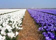 Crocus field. Bulbfield Royalty Free Stock Image