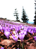 Crocus field Royalty Free Stock Images