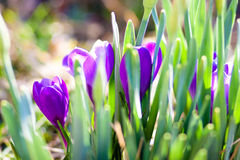 Crocus in a field. Pretty purple crocus bloom in a springtime field among the green stems of daffodils Stock Photography