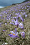 Crocus field 3. Violet Crocus in the mountains Stock Images