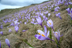 Crocus field 4 Stock Photography