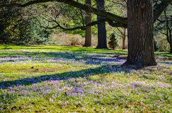 Crocus Field - Longwood Gardens - PA. Field of purple crocus & x28;crocus sativus& x29;  flowers, early spring blossoms, under oak trees at Longwood Gardens, an Royalty Free Stock Image