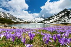 Crocus Field Next to a Mountain Lake Royalty Free Stock Photos