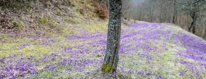Crocus field with tree Stock Photos