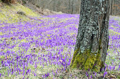 Crocus field with tree Stock Photo