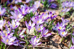 Crocus fields Royalty Free Stock Photography