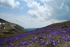 Crocus fields Stock Image