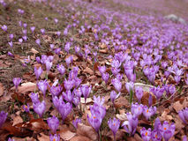 Crocus fields in spring. Crocus fields in early spring. A new life emerging between dead leaves Stock Images
