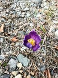 Crocus First Signs of Spring in Alaska Stock Photo