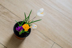 Crocus on the floor Royalty Free Stock Photography
