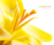 Crocus flower Royalty Free Stock Image