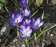Free Crocus Flower Royalty Free Stock Photo - 24236265