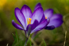 Crocus flower Royalty Free Stock Photo