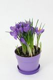 Crocus Flower. Purple Crocus in a purple flower pot with white background royalty free stock images