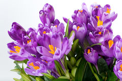 Crocus flower. Spring holiday crocus flowers on light background ( close-up stock photos