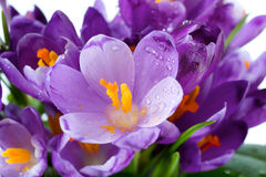 Crocus flower. Spring holiday crocus flowers background ( macro Stock Images
