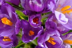 Crocus flower Royalty Free Stock Photo