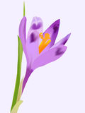 Crocus flower. Spring violet crocus flower on grey background (rasterize from vector Stock Photography