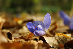 Crocus flower spring and autumn leaves Royalty Free Stock Images