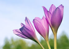 The Crocus flower against the sky. Stock Image