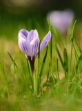 Crocus flower bloom in the field Royalty Free Stock Photography