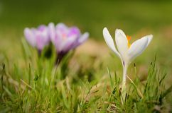 Crocus flower bloom in the field Stock Photography