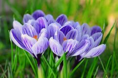 Crocus flower bloom in the field Royalty Free Stock Images