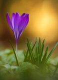 Crocus flower bloom in  field Stock Image