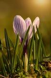 Crocus flower bloom in sunset Stock Photography